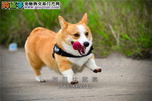 浙江柯基乖巧肥臀幼犬可视频挑选全国发货