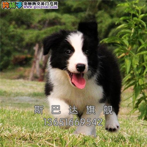 重庆边牧出售多色可选驱虫已做全国发货
