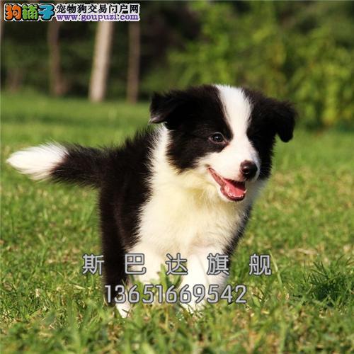 重庆犬舍边牧宽鼻线幼犬待售全国发货
