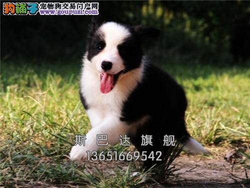 重庆犬舍边牧漂亮新生幼犬包纯种全国发货