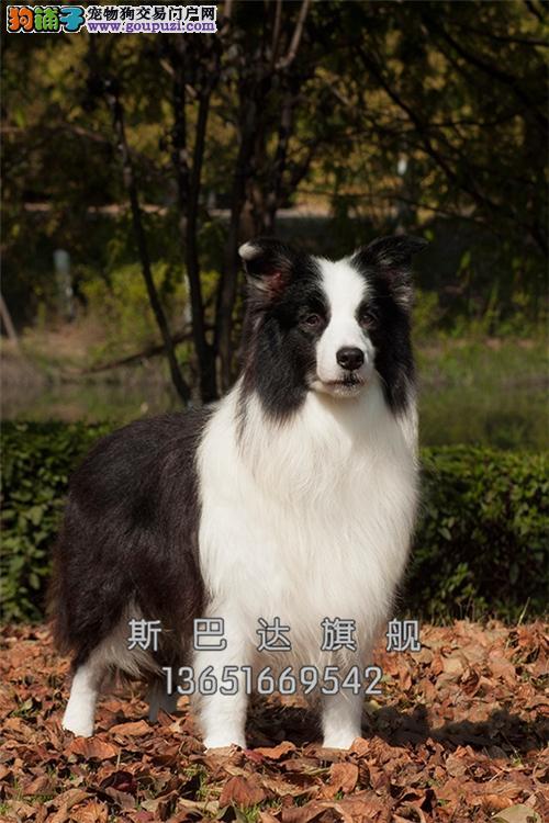 重庆家养边牧可爱纯种幼犬全国发货