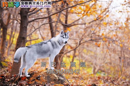 重庆哈士奇漂亮顶级二哈全国包运全国发货
