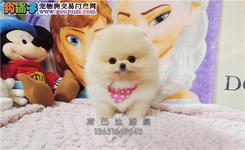 重庆出售博美顶级听话小狗狗全国发货
