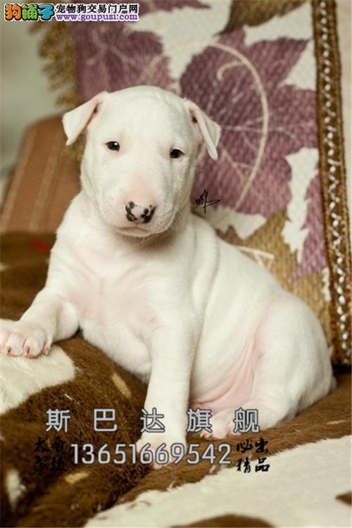 浙江犬舍牛头梗健康自家养狗狗全国发货
