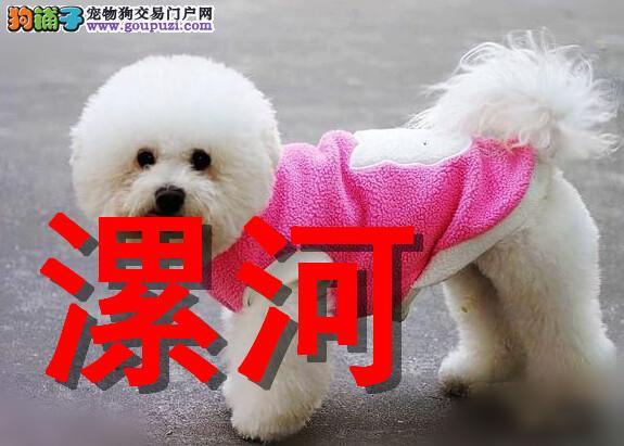 漯河本地狗场比熊犬销售,本地狗场几十个品种
