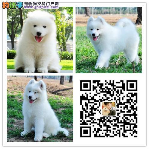 犬舍出售纯种萨摩耶犬 健康认证 诚信营销 可面选