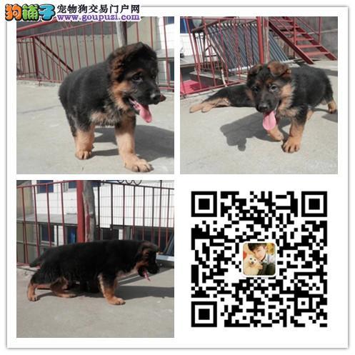 重庆哪里卖纯种德牧 德国牧羊犬价格多少 纯种德牧图片