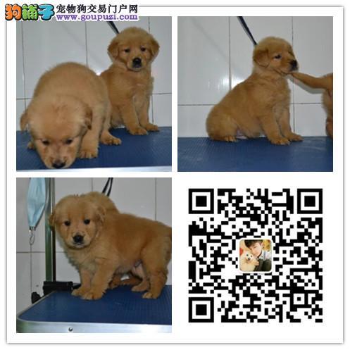 天泽名犬十多年的繁殖经验 纯种金毛犬 同城免费送狗