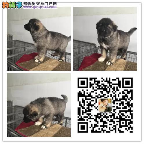 出售护卫犬纯种高加索巨型犬幼犬大型犬宠物狗狗幼崽