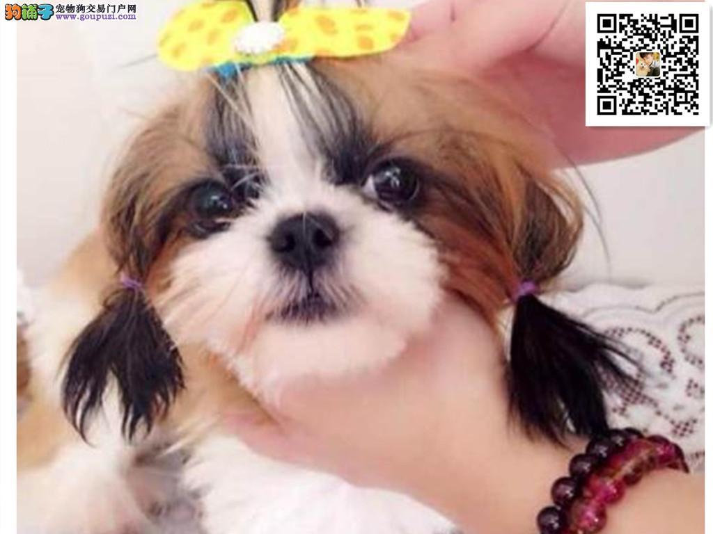 犬舍出售纯种宠物狗 西施犬 幼犬纯种西施活体 可面选