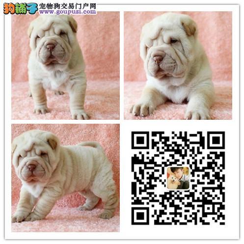 出售纯种沙皮犬幼犬活体沙皮狗犬老头狗活体沙皮宠物狗