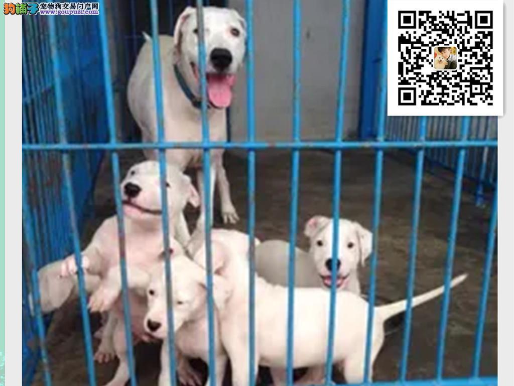 狩猎犬杜高犬出售 纯种杜高犬幼犬猛犬 健康认证