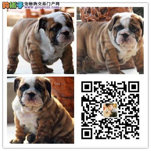 犬舍出售纯种法国斗牛犬 健康认证 诚信营销 可面选