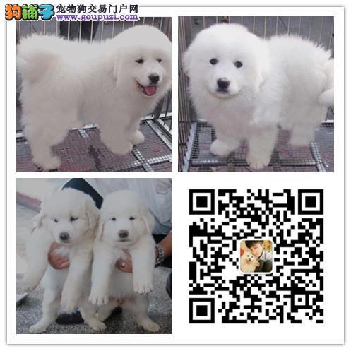 纯种大白熊犬多少钱 纯种大白熊图片 健康认证 可面选