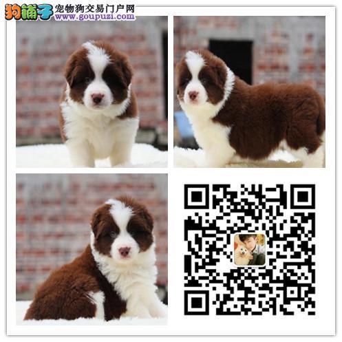重庆哪里有卖边境牧羊犬 边牧多少钱一只 边牧图片