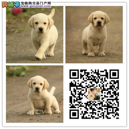 犬舍出售纯种拉布拉多犬 健康保证 诚信营销 上门挑选