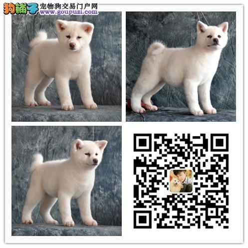 纯种秋田犬出售 纯种秋田犬价格多少 健康认证 可面选