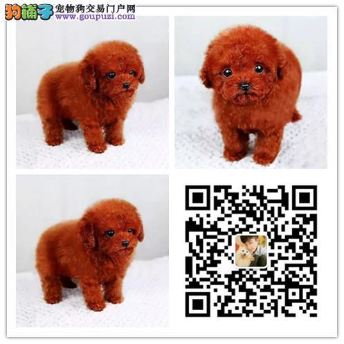 重庆哪里有卖泰迪犬 犬舍出售各品种宠物狗 品质保证