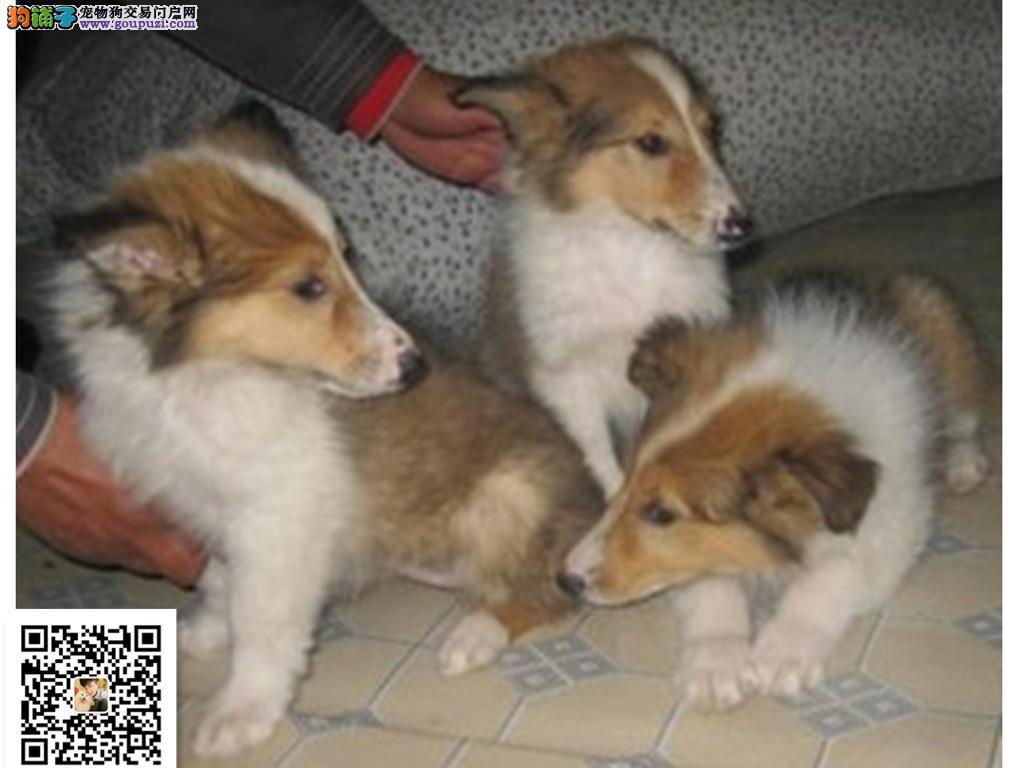 犬舍出售苏格兰牧羊犬 健康认证 诚信营销 可面选