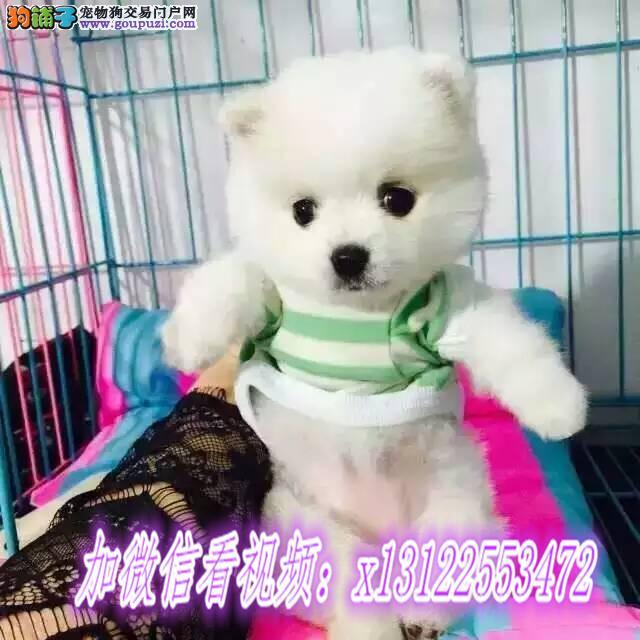 博美犬纯种幼犬出售茶杯袖珍英系哈多利俊介白色赛级