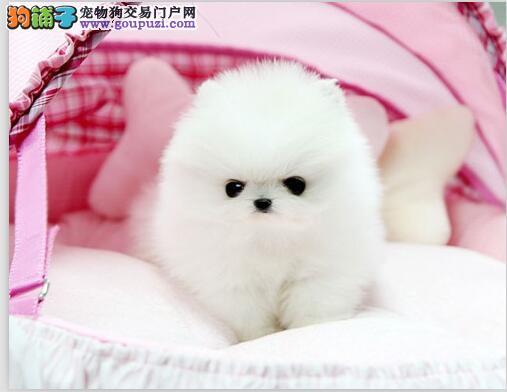 纯种哈多利版球体博美 俊介幼犬 包纯种保健康多色选