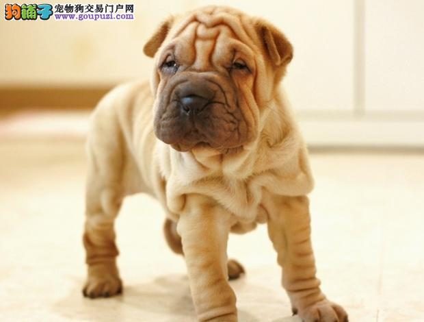 售高品质沙皮狗幼犬 血统纯正 体型完美 健康纯种