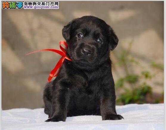 黑色白色神犬小七拉布拉多带血统出售中 终身质保