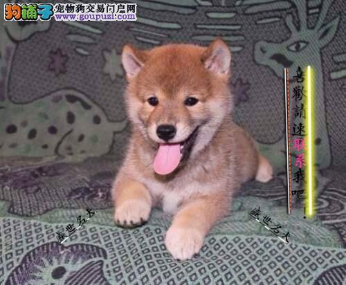 鄂尔多斯出售纯种柴犬 自己繁殖 高品质 包纯种健康
