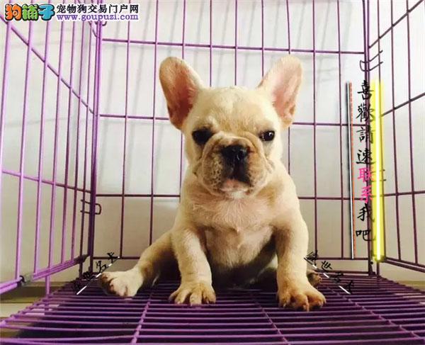 出售纯种法国斗牛犬/纯种/幼犬/可爱/宠物犬/法斗