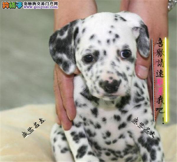 烟台市高品质斑点狗带血统出售中质量三包 可签协议