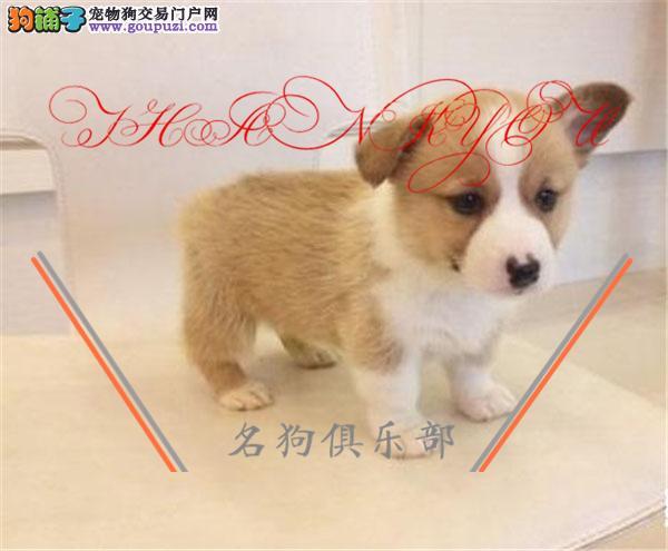 拉萨市专业繁殖纯种柯基犬 健康活泼 疫苗齐全!!!