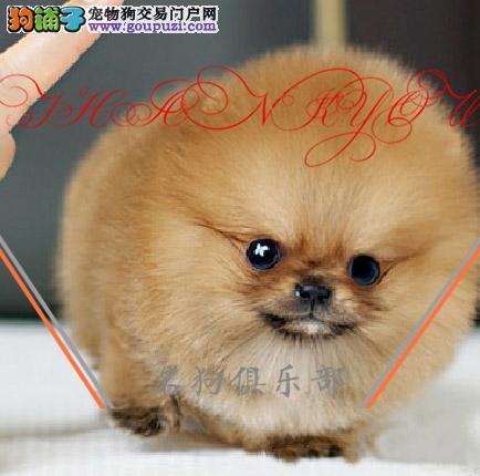 拉萨市专业繁殖纯种博美犬 健康活泼 疫苗齐全!!!