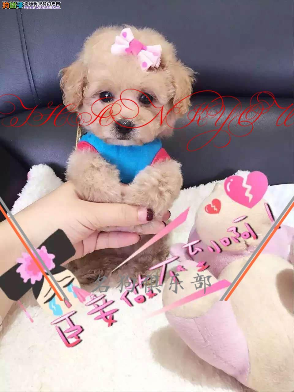 银川市纯种家养茶杯犬泰迪 优质双血统 可爱萌宠