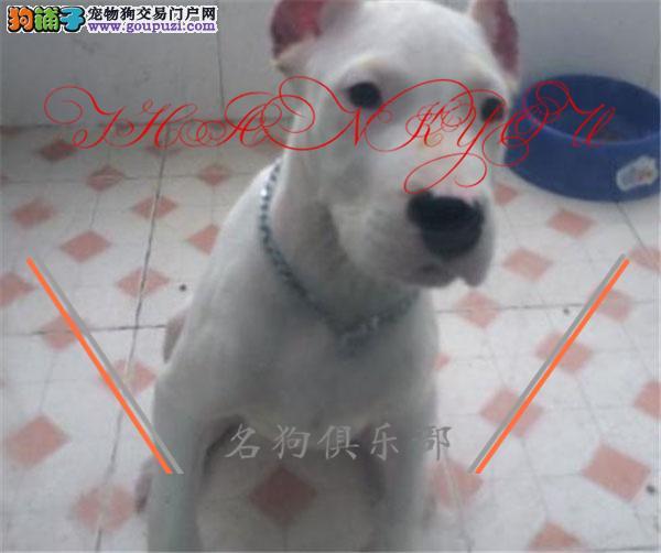 金昌市专业繁殖纯种杜高犬 健康活泼 疫苗齐全!!!