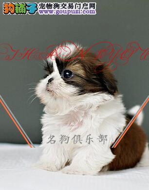 银川市专业繁殖纯种西施犬 健康活泼 疫苗齐全!!!