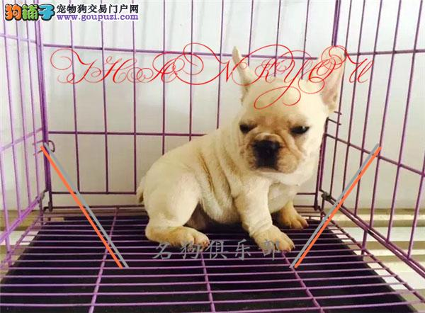 专业繁殖纯种法国斗牛犬 健康活泼 疫苗齐全!!!