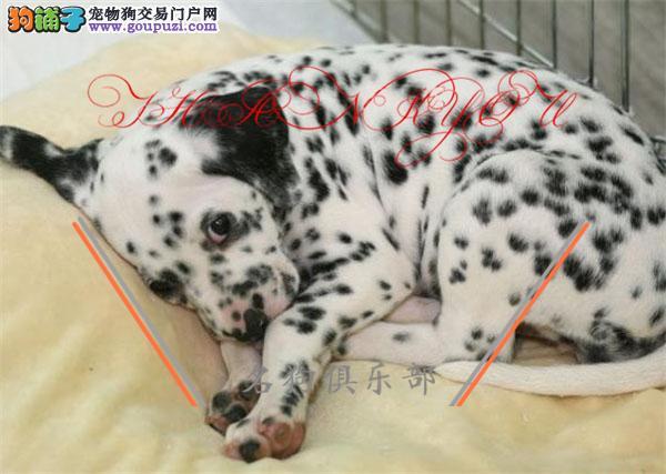 金华市专业繁殖纯种斑点犬 健康活泼 疫苗齐全!!!