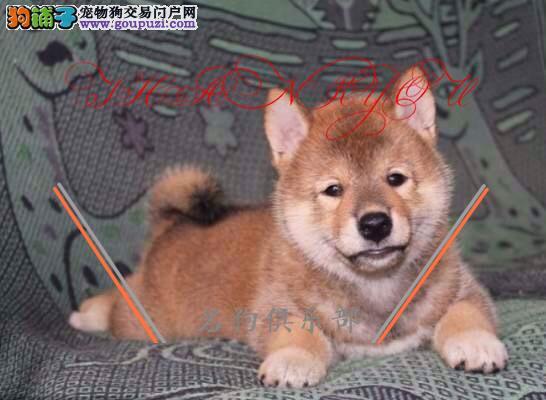 呼和浩特专业繁殖纯种柴犬 健康活泼 疫苗齐全!!!