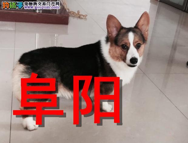 阜阳本地狗场柯基犬销售,本地狗场几十个品种