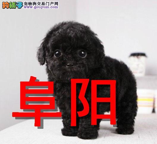 阜阳本地狗场泰迪熊犬销售,本地狗场几十个品种