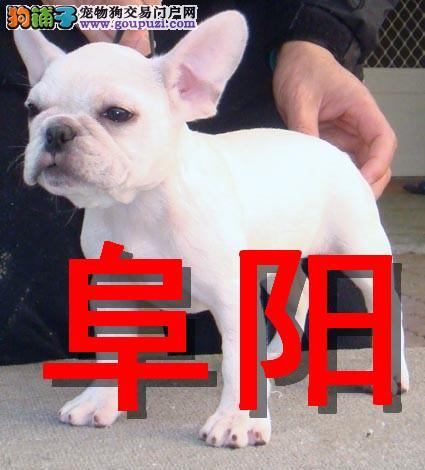 阜阳本地狗场法国斗牛犬销售,本地狗场几十个品种