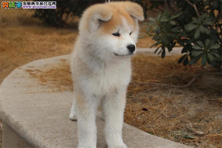 秋田犬忠厚老实 体型好毛色亮,包纯种健康,品相极佳