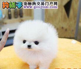 哈多利球体大眼睛 美丽博美犬出售中 让您爱不释手