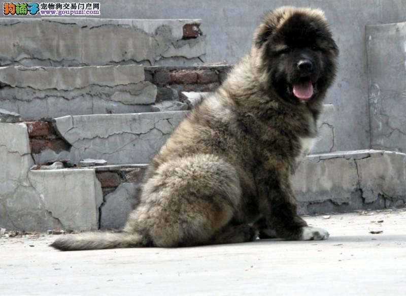 出售俄系大骨架熊版高加索幼犬 顶级护卫犬 签订协议