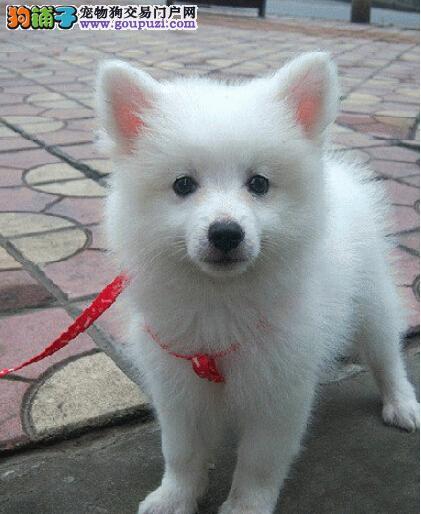 出售精品银狐犬 三针齐全保健康 签订正规合同
