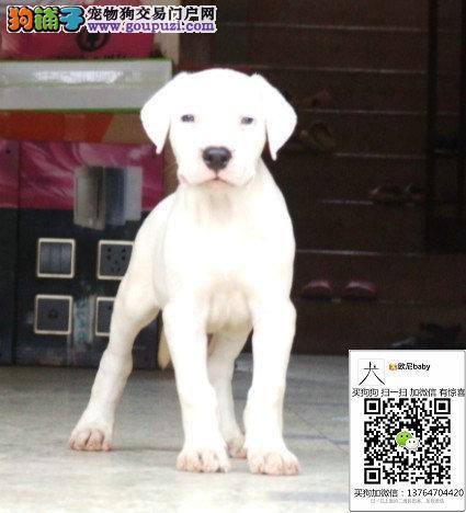纯种阿根廷杜高犬猎犬斗犬宠物犬