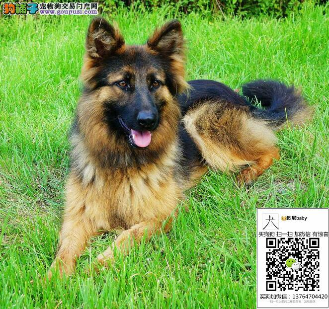 纯种德国牧羊犬 黑背 狼狗 德国牧羊犬幼犬出售