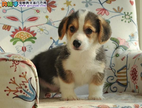 出生2个月零29天的柯基犬