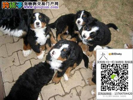 出售纯种健康赛级伯恩山犬幼犬活体大型伴侣护卫犬