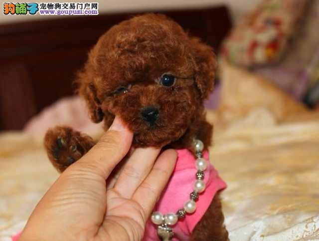 纯种贵宾宝宝狗狗活泼可爱